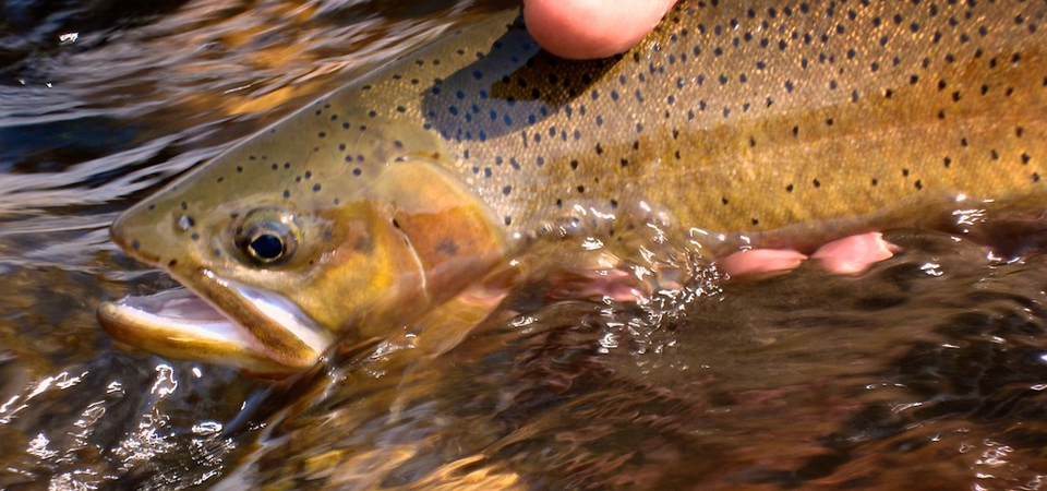 Cutthroat Trout at Trout Bums